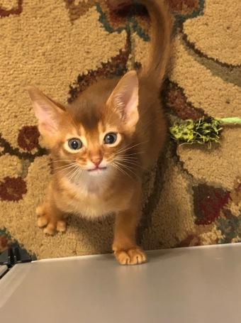 Fantasy's sorrel kitten