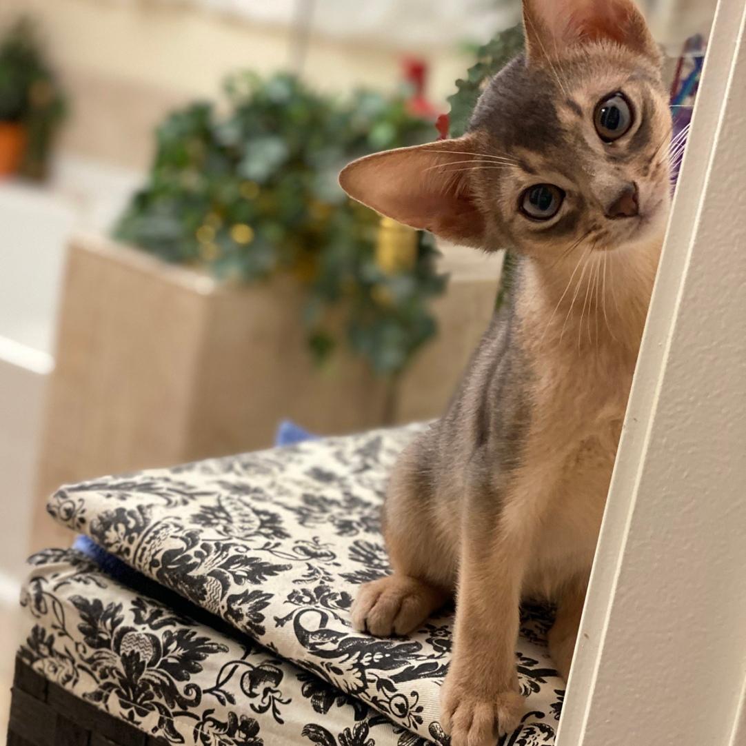 Milo - Cute GrapeArbor kitten